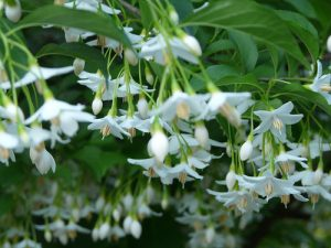 Fragrant Snowbell