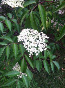 Wyldewood Elderberry