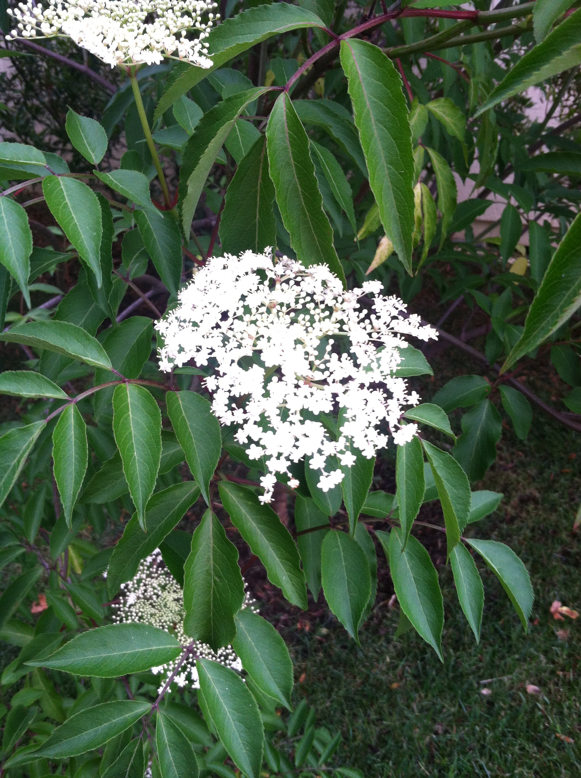 Elderberry Flowers Pictures