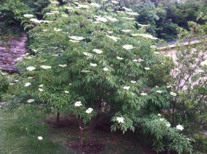 York Elderberry Bush