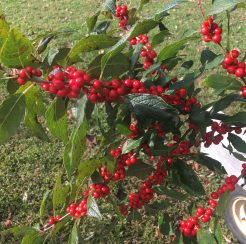 Winter Red Holly – 2 gallon