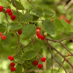 Allegheny Serviceberry – 1 gallon