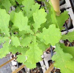 Oak Trees (1 gallon)