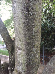 Yellowood Tree