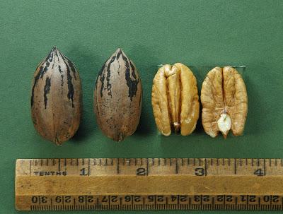 Gardner Pecan Tree