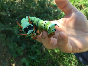 The Hickory Horned Devil