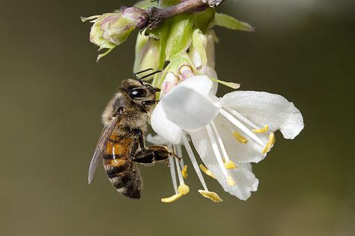 Honeybee Forage