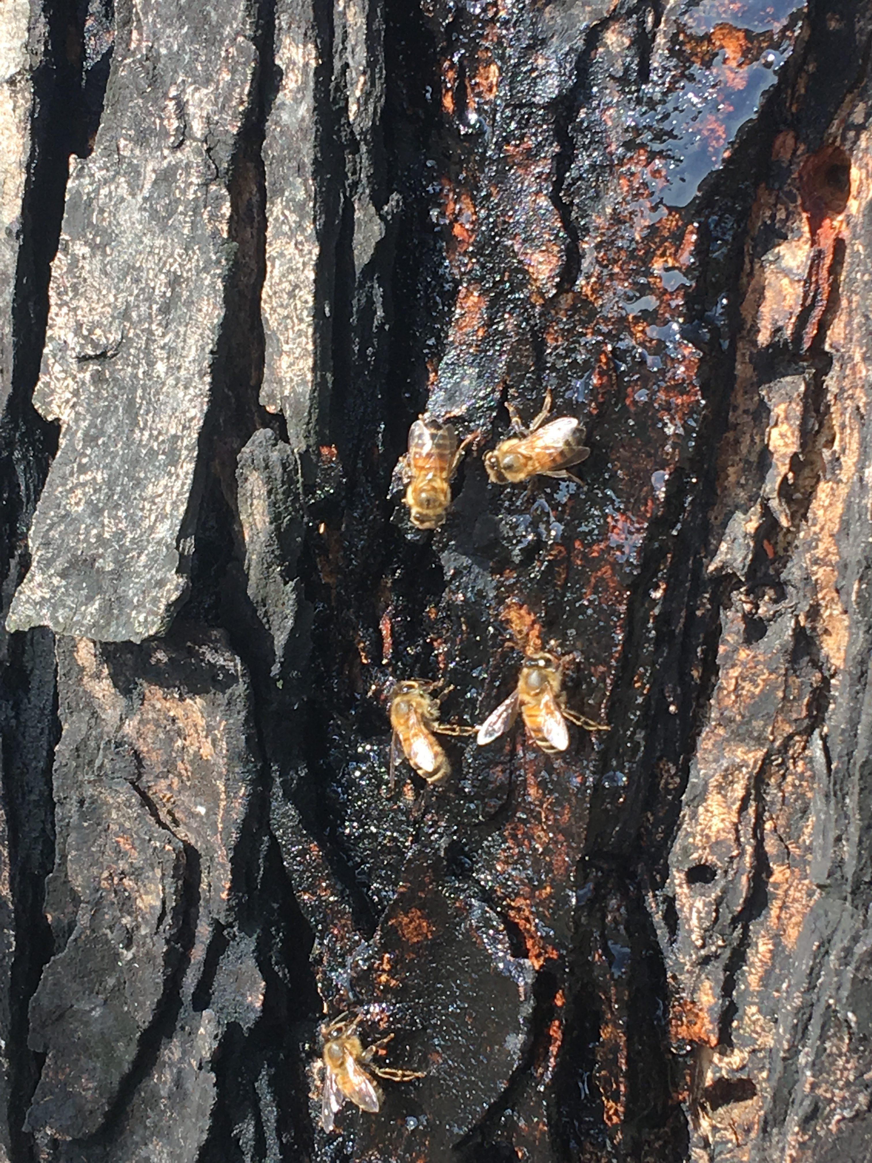 The Honeybee and the Maple Tree