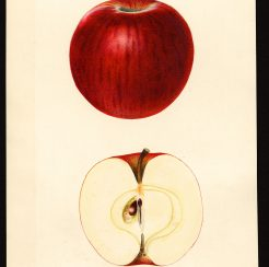 Ben Davis Apple