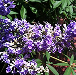 Vitex- Shoal Creek