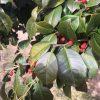 Maryland Dwarf Holly