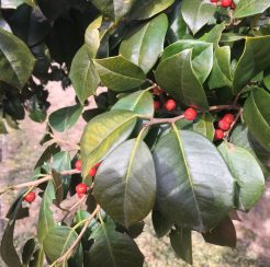 Holly Trees (2 gallon)