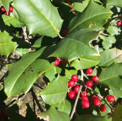 Holly Trees (1 gallon)