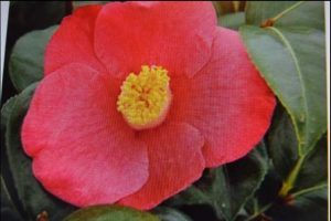 April Melody Camellia