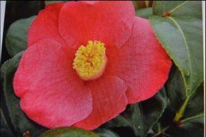 April Melody Camellia