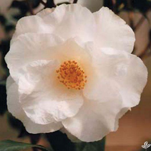 April Snow Camellia