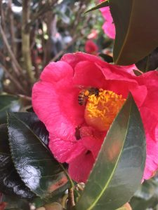 Springs Promise Camellia