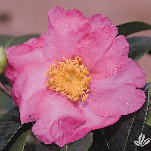 Long Island Pink Camellia