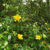 Shrubby St Johnswort