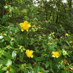Flowering Shrubs (1 gallon)