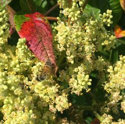Shining Sumac/ Winged Sumac 1 gallon