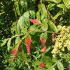 Shining Sumac/ Winged Sumac