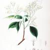 Little Epaulette Tree