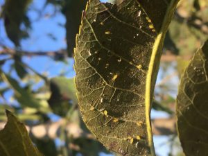 Yellow Aphids on Pecans