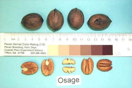 Osage Pecan
