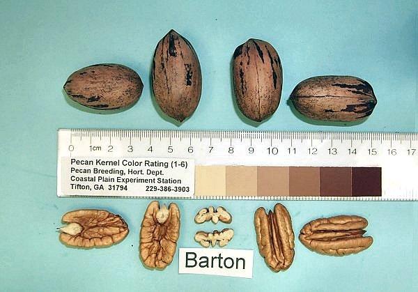 Barton Pecan
