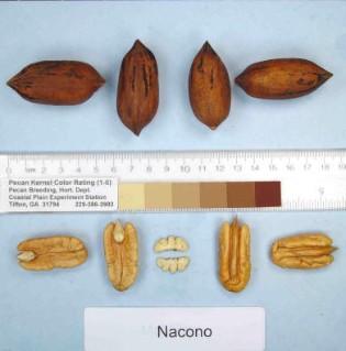 Nacono Pecan