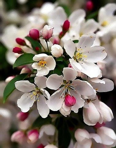 Crabapple in bloom.